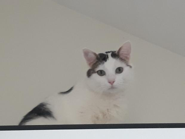 Adopter POMPOM, chat male de 4 ans