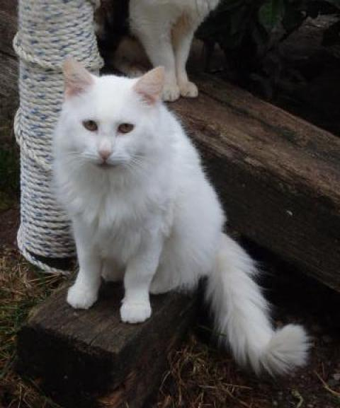 Adopter POMPOM, chat male de 6 ans