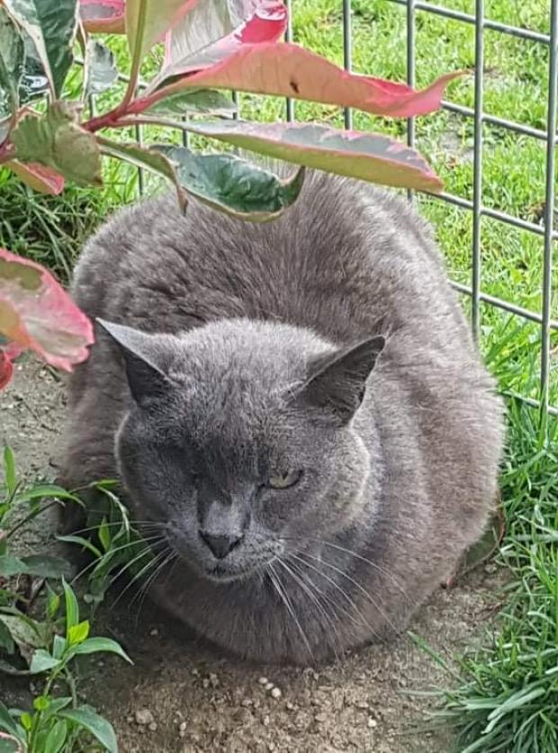 Adopter PTIT BOUT, chat europeen male de 12 ans
