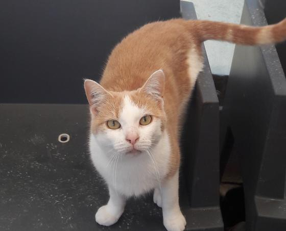 Adopter PUZZLE, chat europeen male de 5 ans