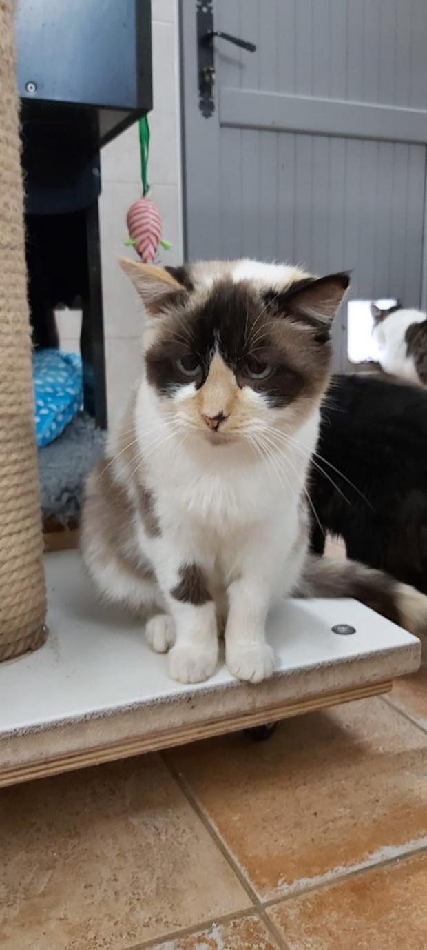 Adopter PILGRIM, chat europeen male de 11 ans