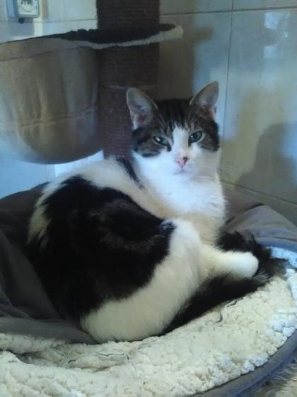 Adopter POMPOM, chat europeen male de 13 ans