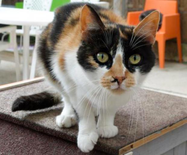 Adopter PEPETTE, chat femelle de 7 ans