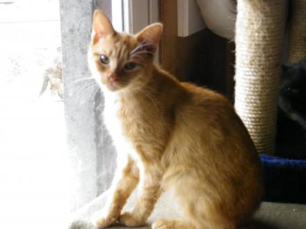 Adopter ROUSSO, chat europeen male de 14 ans