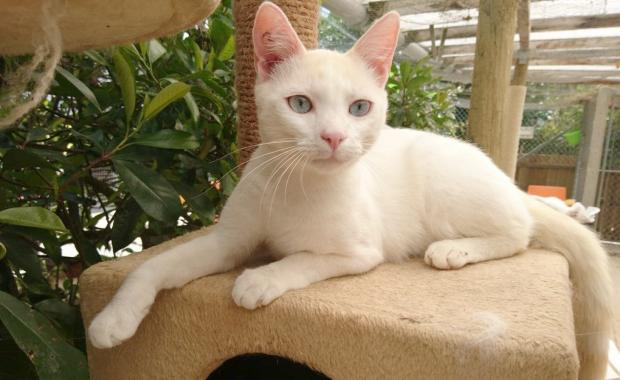 Adopter RAGNAR, chat siamois male de 2 ans