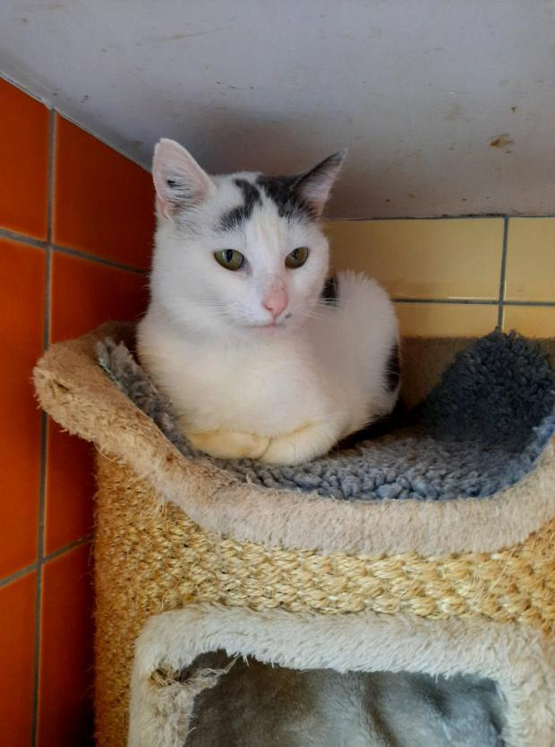 Adopter ralf, chat male de 10 mois