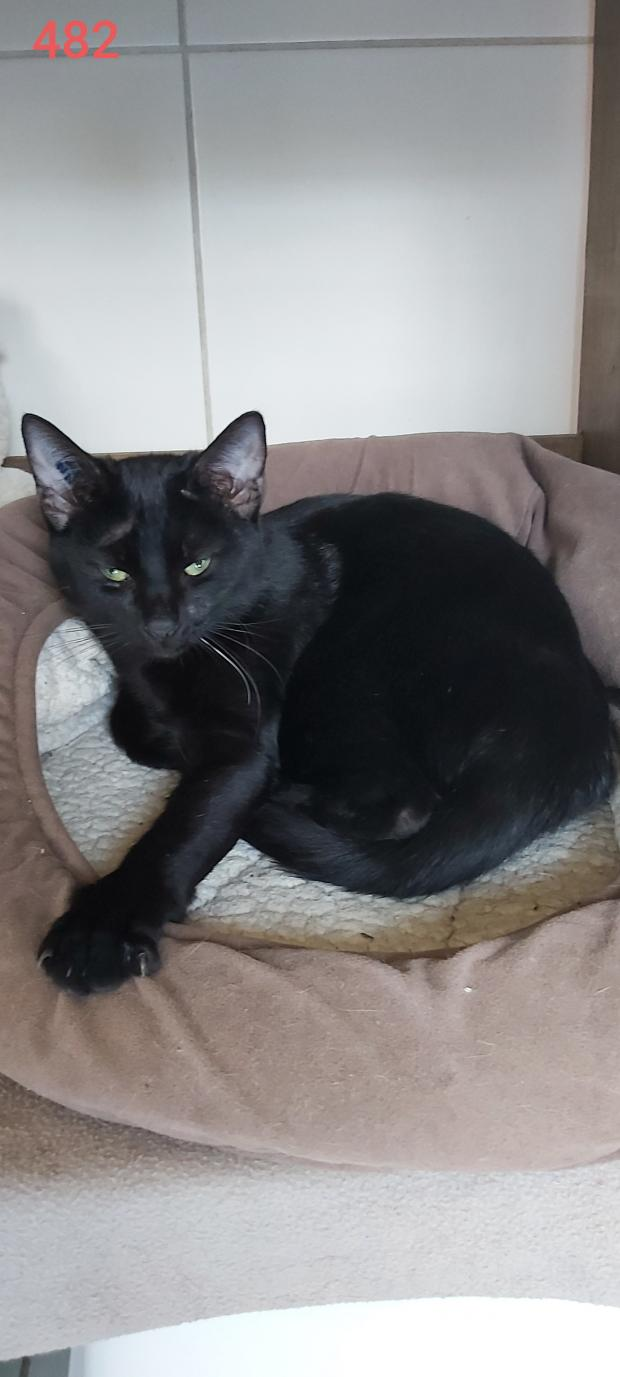 Adopter RAMSES, chat europeen male de 9 mois