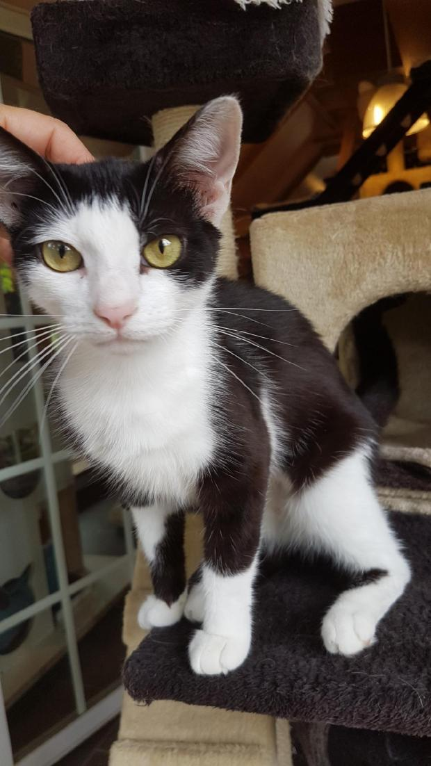 Adopter VICTORIA, chat femelle de 4 ans