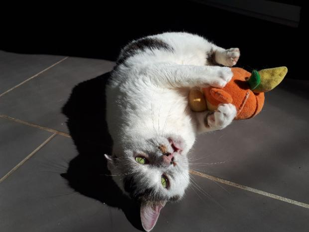 Adopter MINOU, chat europeen male de 9 ans