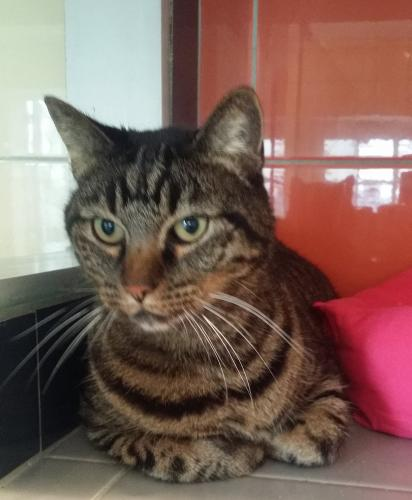 Adopter ROMEO, chat europeen male de 10 ans