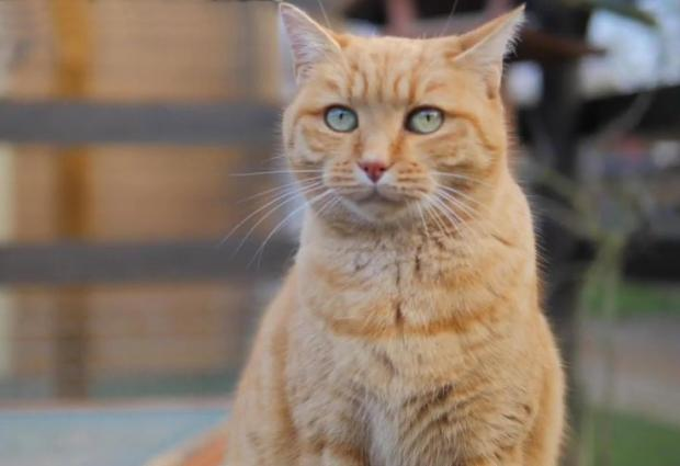 Adopter ROUCAS, chat europeen male de 11 ans