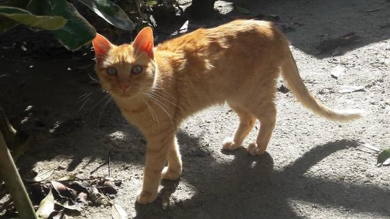 Adopter ROUKY, chat europeen male de 4 ans