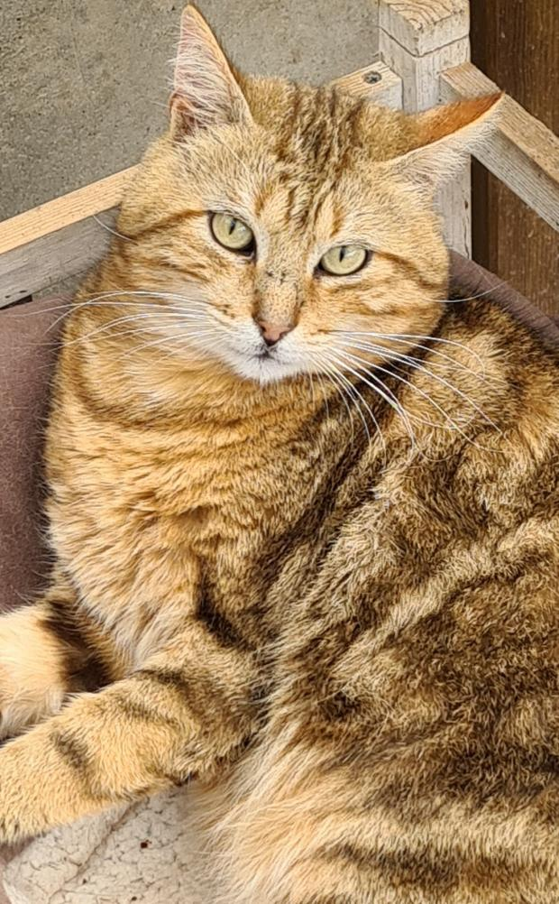 Adopter SMITH, chat europeen male de 3 ans