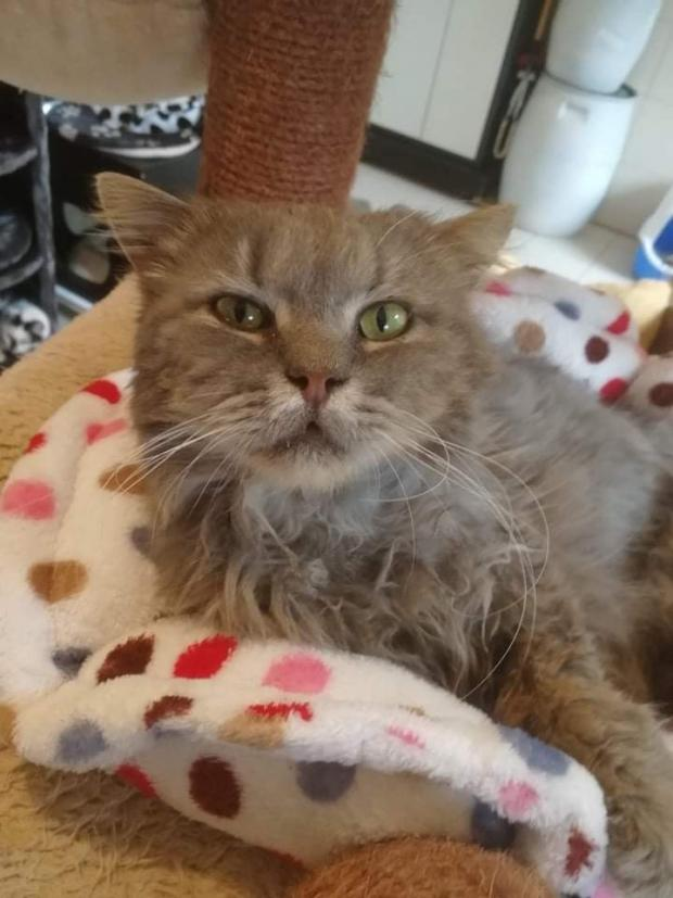 Adopter SUSHI, chat europeen male de 5 ans