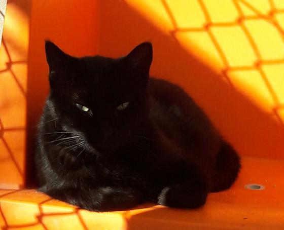 Adopter SAABA, chat femelle de 8 ans