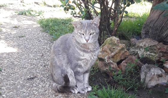 Adopter SHIREL, chat europeen femelle de 8 ans