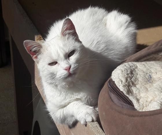 Adopter SIANOUK, chat femelle de 5 ans