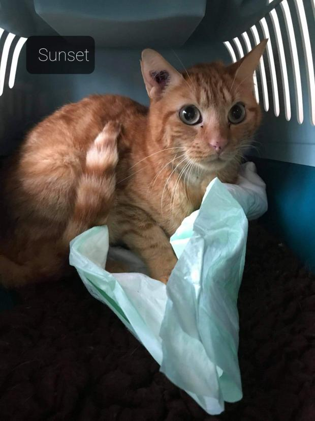 Adopter sunset, chat male de 2 ans