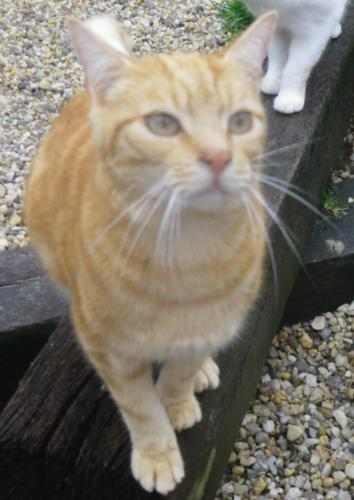 Adopter TEXAS, chat europeen male de 9 ans