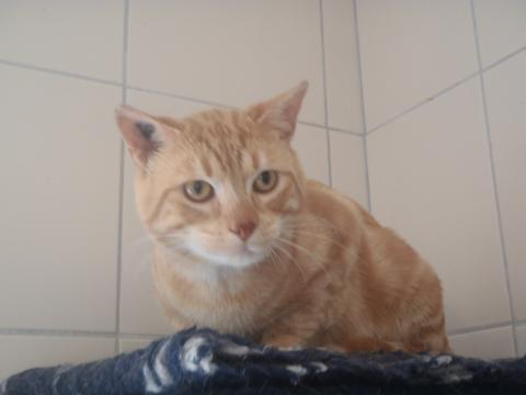 Adopter TITI, chat europeen male de 5 ans