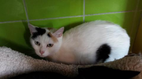 Adopter TROPICA, chat femelle de 4 ans