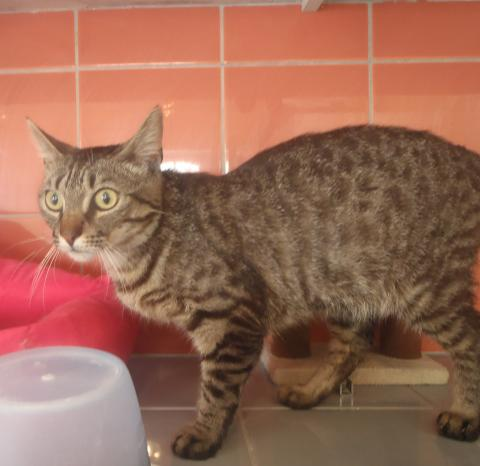 Adopter TIGROU, chat europeen male de 3 ans