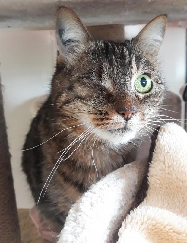 Adopter TOFFY, chat femelle de 15 ans