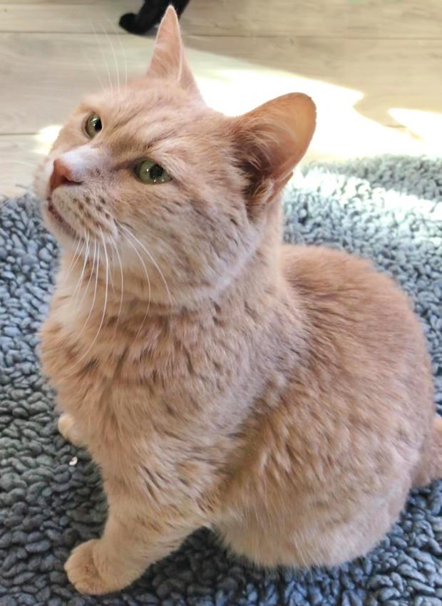 Adopter TOM, chat male de 11 ans