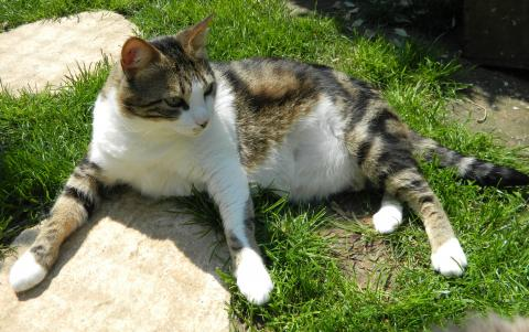 Adopter ULYSSE, chat europeen male de 8 ans