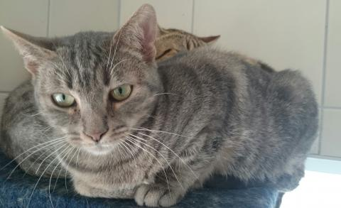 Adopter VEGETA, chat europeen femelle de 6 ans