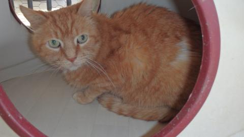Adopter VODKA, chat europeen male de 13 ans