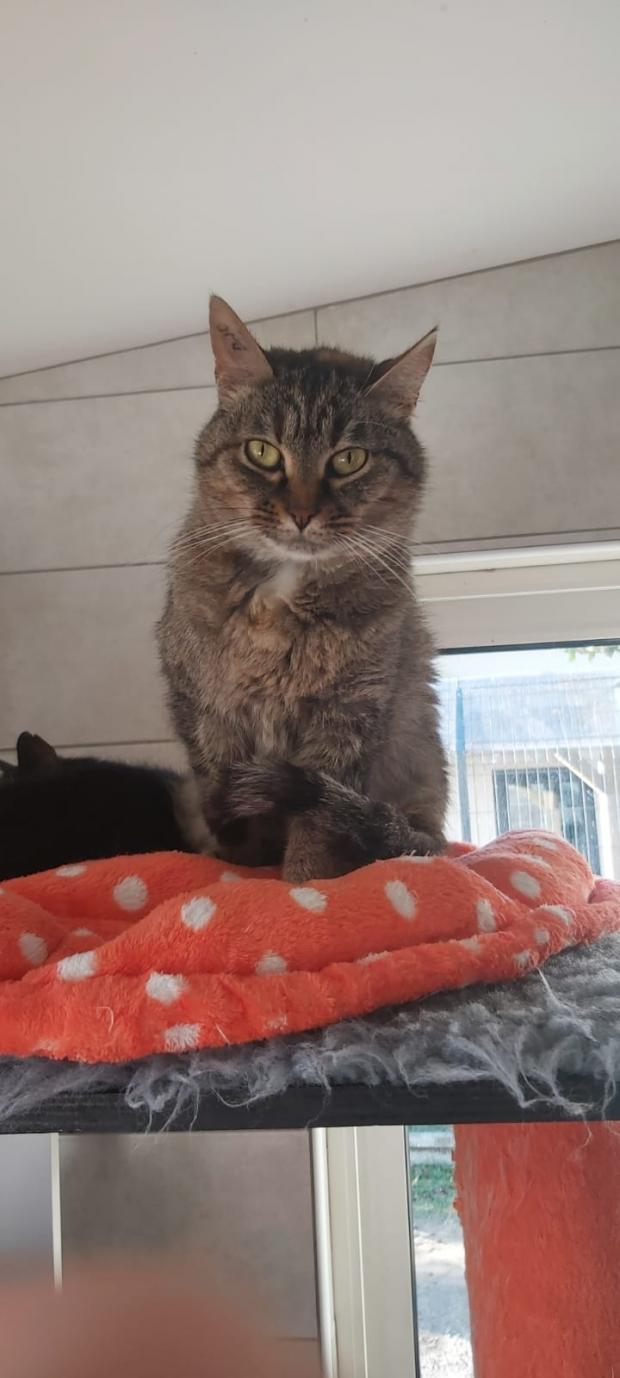 Adopter WILLY, chat europeen male de 5 ans