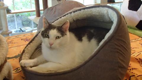 Adopter WEST alias WISTOUNET, chat europeen male de 9 ans