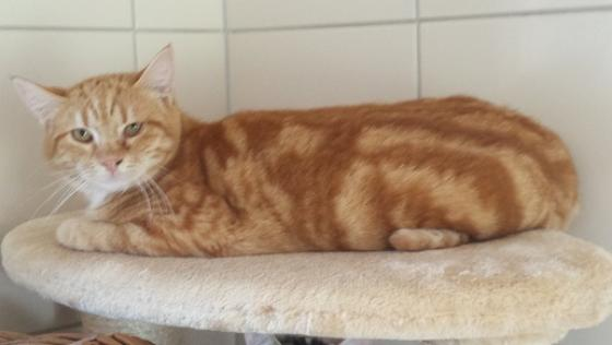 Adopter YOSHI, chat europeen male de 5 ans