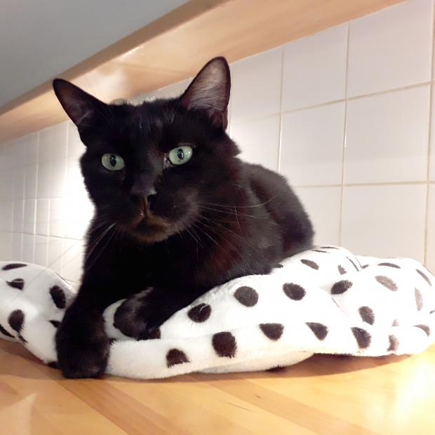 Adopter ZADIG, chat male de 8 ans