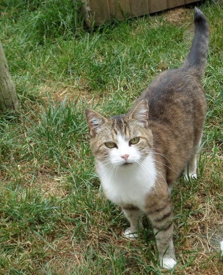 Adopter ZIG, chat british_shothair femelle de 12 ans