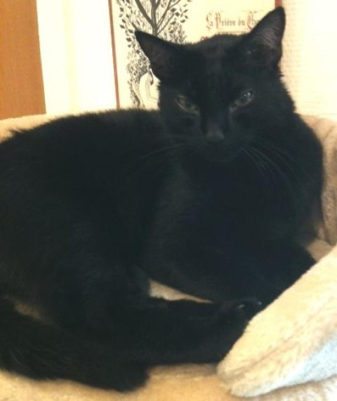 Adopter ZORRO, chat europeen male de 7 ans