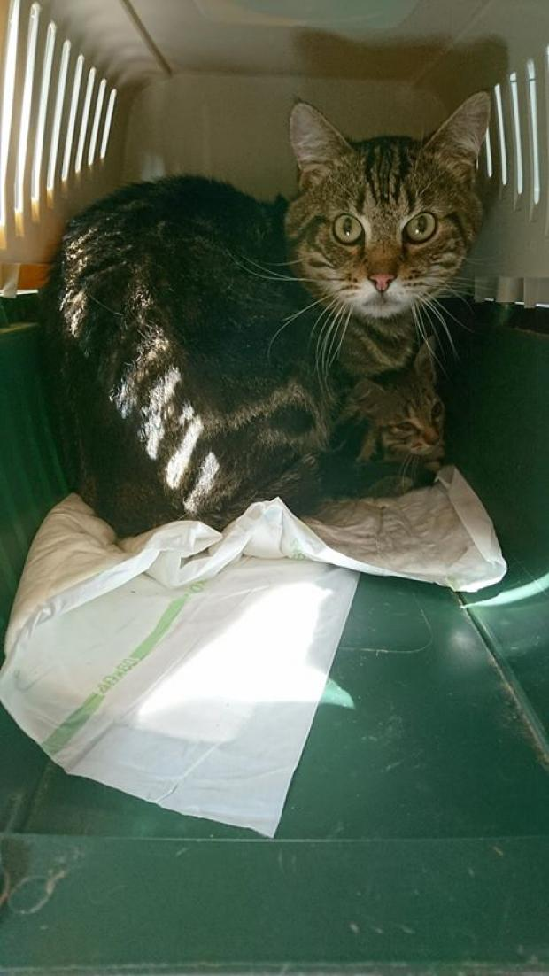Adopter O'NYL dit O'NEIL, chat europeen male de 8 ans