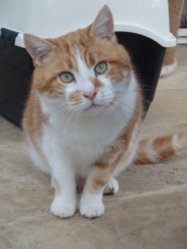 Adopter ALFRED, chat europeen male de 9 ans