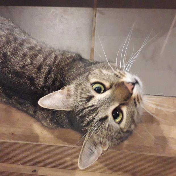Adopter Aria, chat europeen male de 2 ans