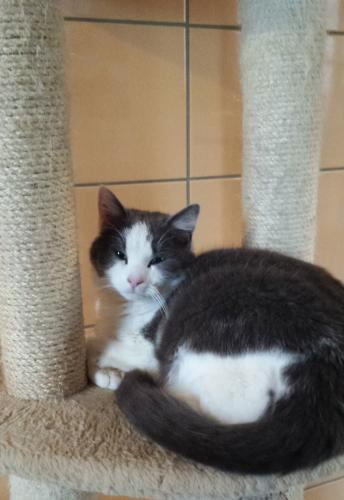 Adopter ATILA, chat male de 5 ans