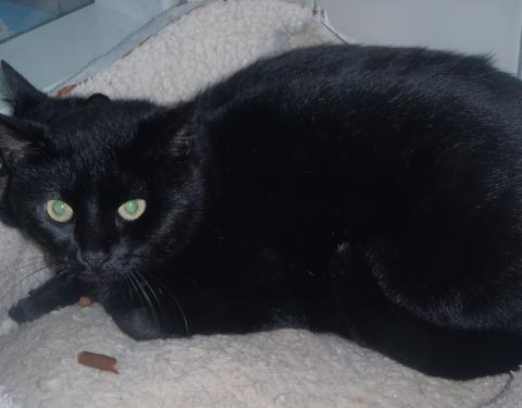 Adopter BATMAN, chat europeen male de 6 ans