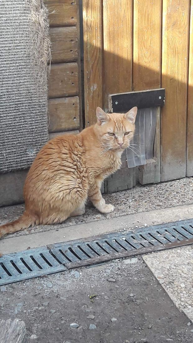 Adopter BLENNY, chat europeen male de 5 ans