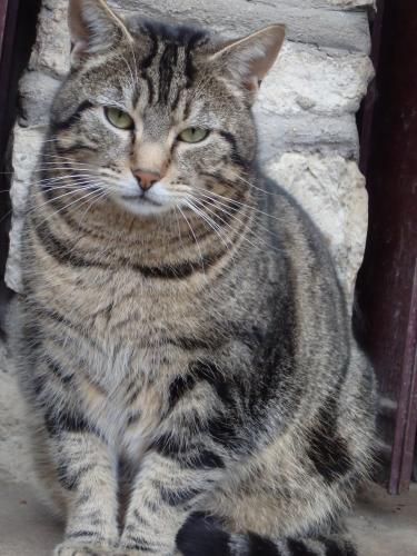 Adopter BOGART, chat europeen male de 8 ans