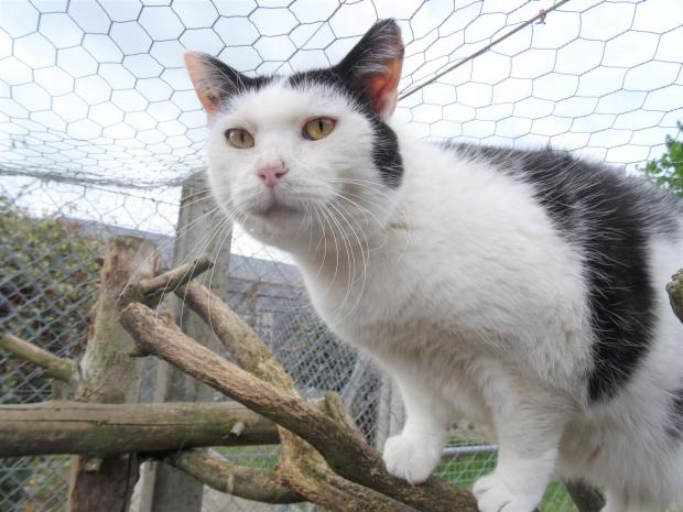 Adopter BOUBOU, chat europeen male de 10 ans