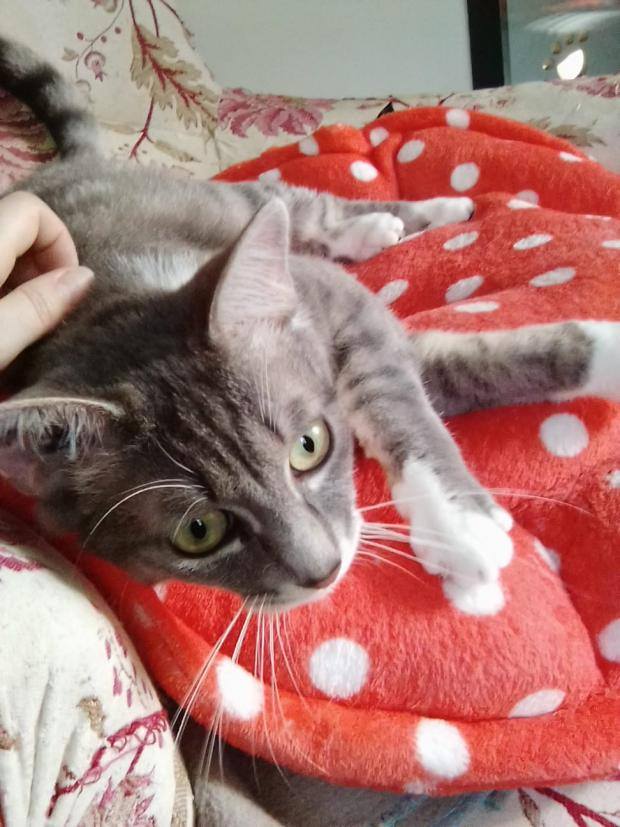 Adopter BOWIE, chat male de 19 mois