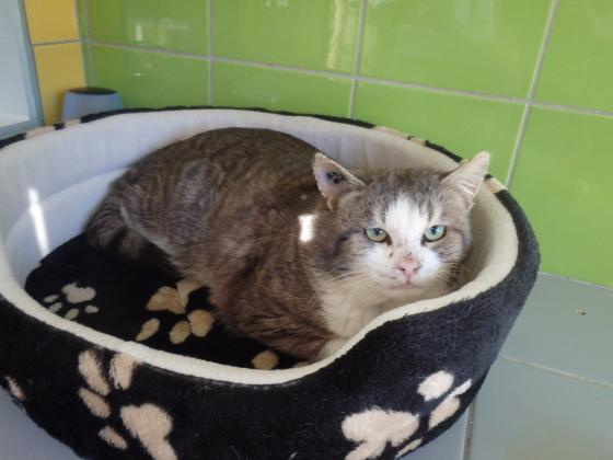 Adopter BUTCH, chat europeen male de 8 ans