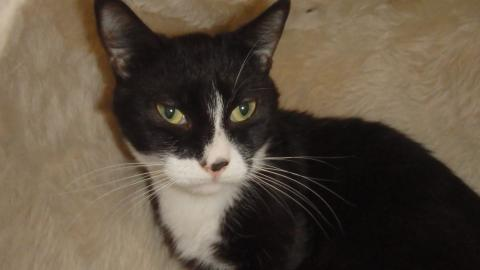 Adopter CALIN, chat europeen male de 4 ans