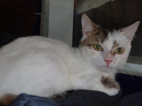 Adopter CHICAGO, chat europeen male de 2 ans