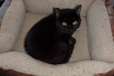 Adopter CHRISTINA, chat europeen femelle de 11 ans